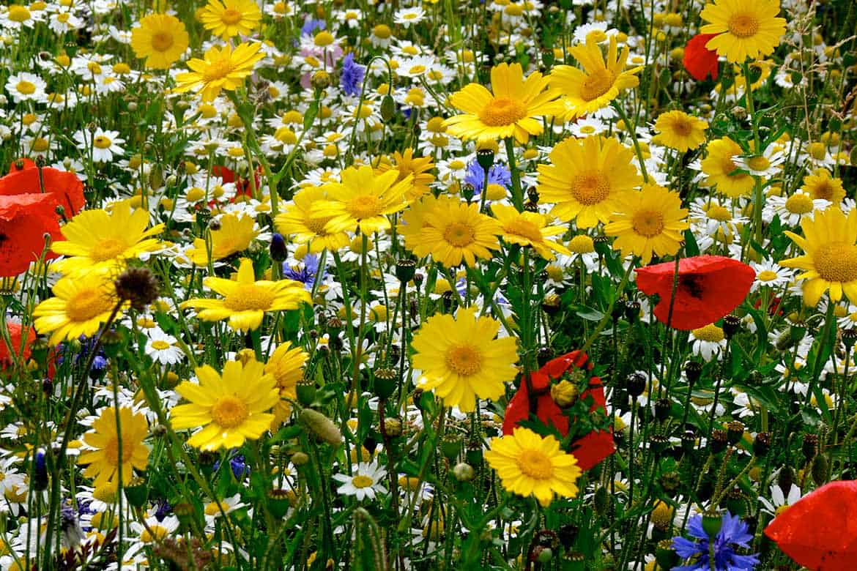 wild-flower-seeds